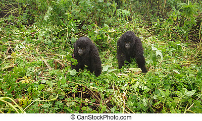 Two young gorillas playing in the forest - Front view of two...
