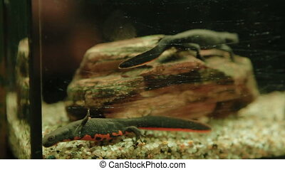 The red-bellied newt (Taricha rivularis) in special tank.