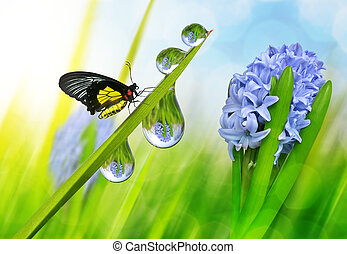 Hyacinth and dew drops on green grass with butterfly