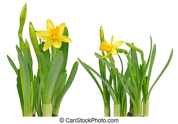 Narcissus flowers isolated on a white background