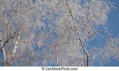 Frozen Tree Top - Upper view of frozen tree top in sunny...