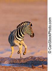 Zebras jump from waterhole - Zebra jumping out of waterhole;...