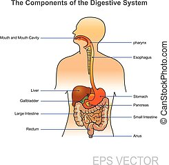 The human digestive system. Illustration.