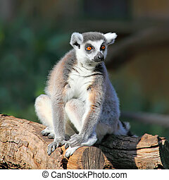 ring-tailed lemur - close-up of a ring-tailed lemur