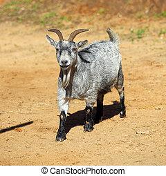 Grey horned goat