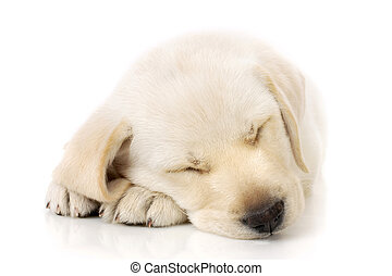 Puppy sleeping on paws - Sleeping Labrador retriever puppy...