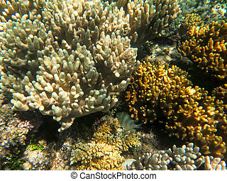 Finger Coral at Great Barrier Reef