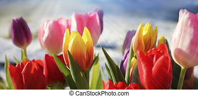 Colourful tulips in sunlight