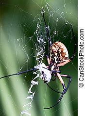 Yellow Garden Spider in Web