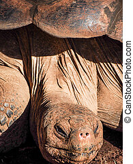 Galapagos Turtle Face - The head of a galapagos turtle...