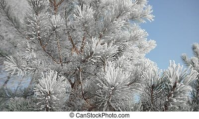 Frozen Tree Needles - Beautiful frozen tree needles in sunny...