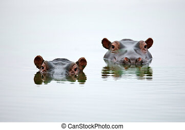 Hippo heads - Partial Hippo faces showing above smooth...