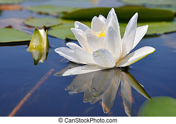 Water lily in water on the lake