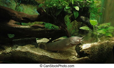 Electric Catfish (Malapterurus electricus) floating in...