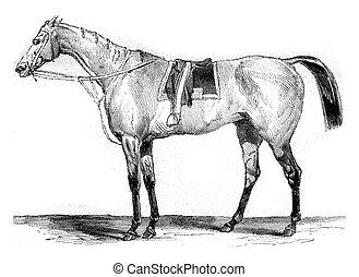 cheval course, pur-sang, vendange, gravure