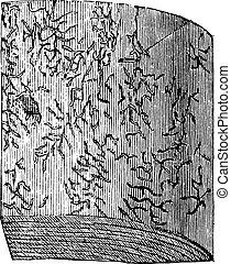 Wood spruce with larval galleries, vintage engraving.
