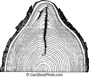 Frost cracks of an oak trunk, vintage engraving.