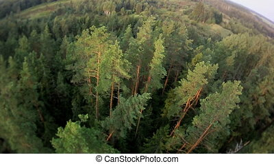 Flying over the pine trees.