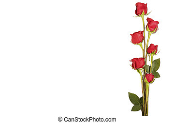 Border of Long Stem roses isolated on white - Long stem...
