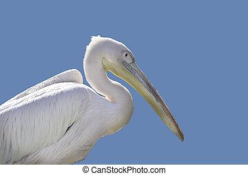 White pelican portrait - White pelican side portrait....