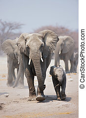 Elephant herd - Elephant cow and calf with herd following in...