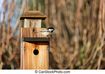 Black-capped chickadee - Black capped chickadee on birdhouse