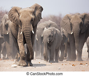 Elephant herd - Large herd of elephants approaching over the...