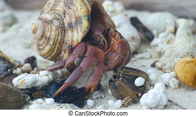 Hermit crab crawling on the beach - Big Hermit crab crawling...
