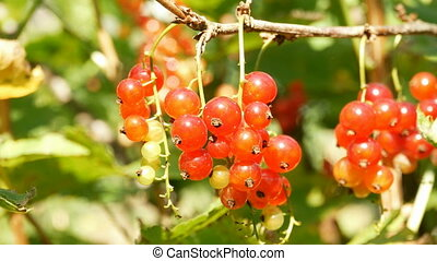 Red currant berries close up - Red currants harvesting time