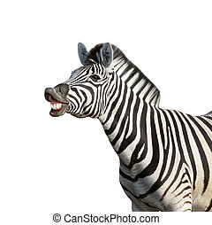 Laughing zebra isolated against white background; equus...