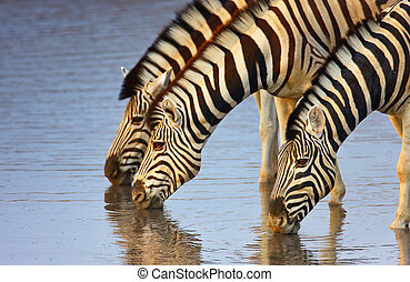 Zebras drinking - Three zebras drink at a waterhole in...