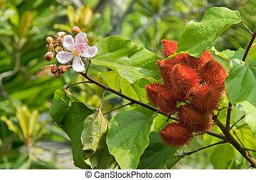 rose, achiote, (bixa, rouge lèvres, singapour, arbre,...