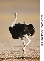 ostrich - Wild male ostrich walking on rocky plains of...