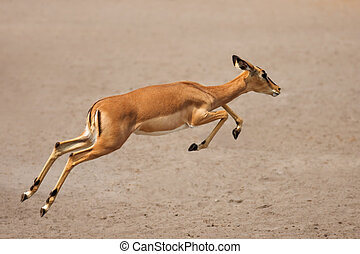 Black-faced impala running - Black-faced impala (female)...