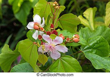 rose, achiote, rouge lèvres, singapour, Photo, jardin,...