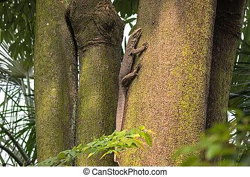 Big Asian Malayan water monitor lizard climbing on tree in...