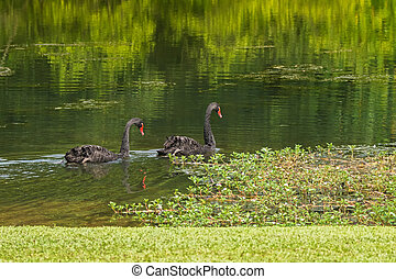 Pair of large black swans waterbird swimming in the lake...