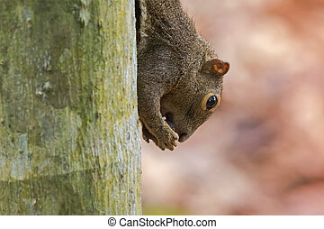 Closeup of brown tree Squirrel biting hard shell nut on the...