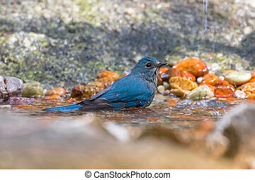 Beautiful Verditer Flycatcher bird in blue playing soaking...