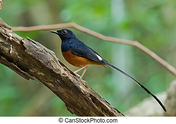 Male White-rumped shama bird in black and orange on a branch...