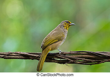 Stripe throated, Streak throated bulbul bird in yellow...