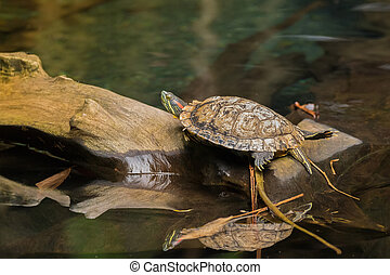 Red-eared slider, red-eared terrapin turtle with red stripe...