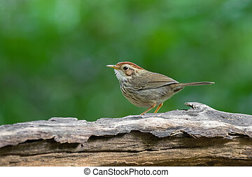 Puff-throated spotted Babbler bird in brown with streaks on...