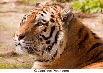 Indian Tiger portrait