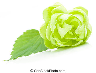 Hop cone - Close up view of single bloomed hop cone with...