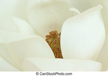 White magnolia flower close-up, for backgrounds or textures
