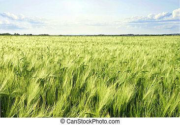 Green barley cereal field and sky - Beautiful ripening green...