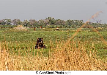 Hippo Hippopotamus, Okavango delta, Botswana Africa - Hippo...