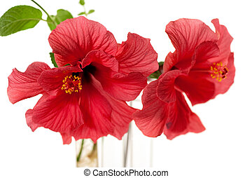hibiscus flower - isolated hibiscus on white