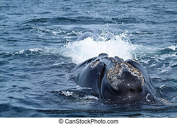 Austral Whale - Austral whale in Pensinsula Valdes (Puerto...